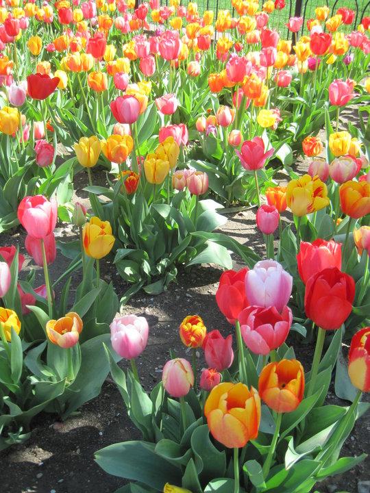 Pretty Tulips! <3