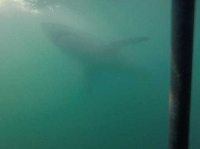 shark8.jpg